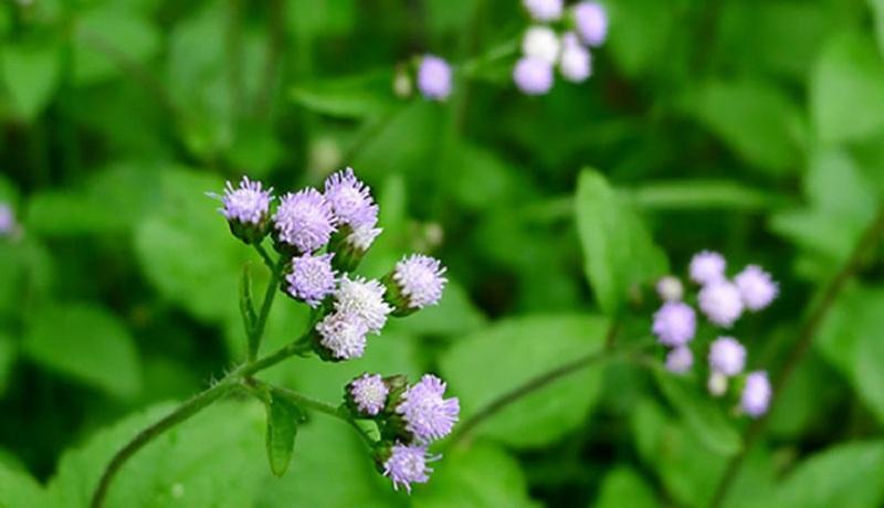 Hoa ngũ sắc là một trong những cây thuốc xông trị viêm xoang hiệu quả