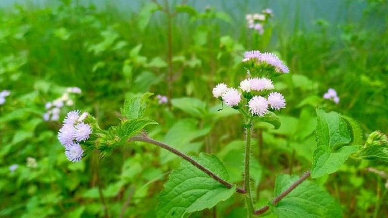 Hoa ngũ sắc có khả năng trị nhiễm trùng xoang vượt trội