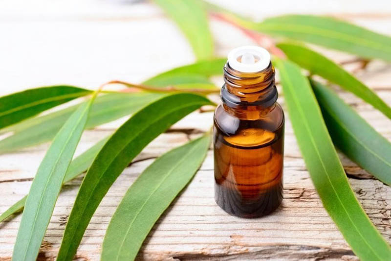 Tinh dầu bạch đàn có đặc tính chống viêm tự nhiên